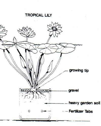 tropical water lily care, how to plant a tropical water