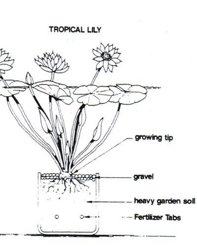 Diagram Of Water Lily - Diagram Design Sources symbol-keman -  symbol-keman.paoloemartina.itdiagram database - paoloemartina.it