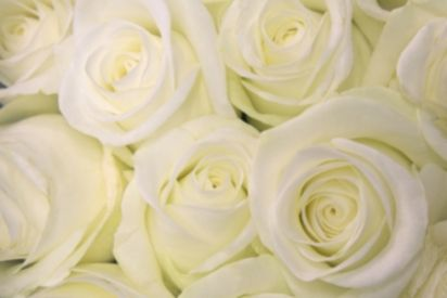 White rose meaning meanings of white roses rose symbolism one rose white rose meaning mightylinksfo Images