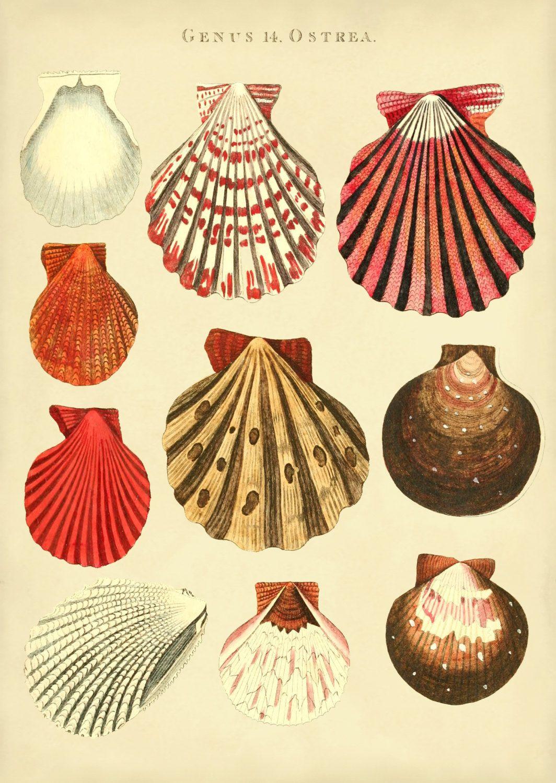 Seashells Print of Oyster Shells, Poster, Beach House Wall Art ...