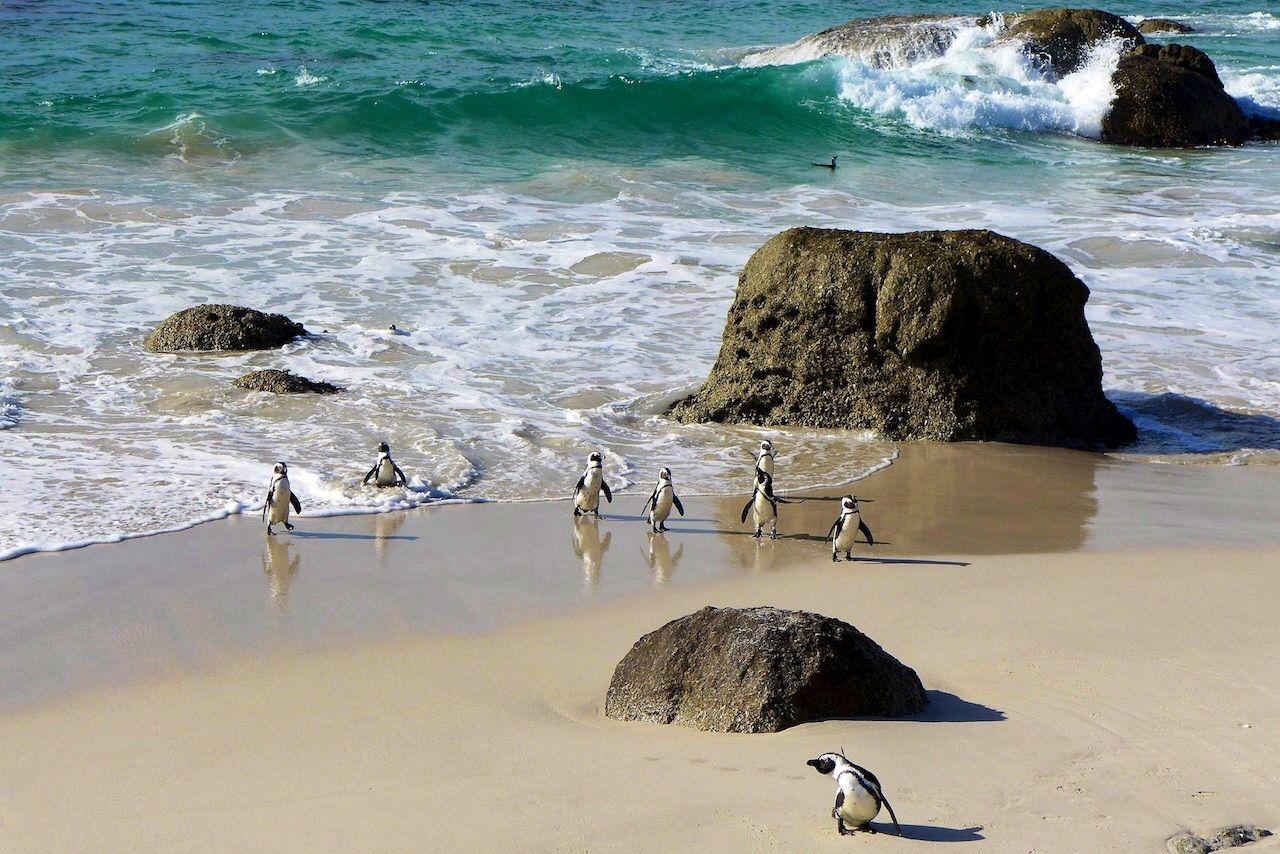 Pingvinene på Boulders Beach