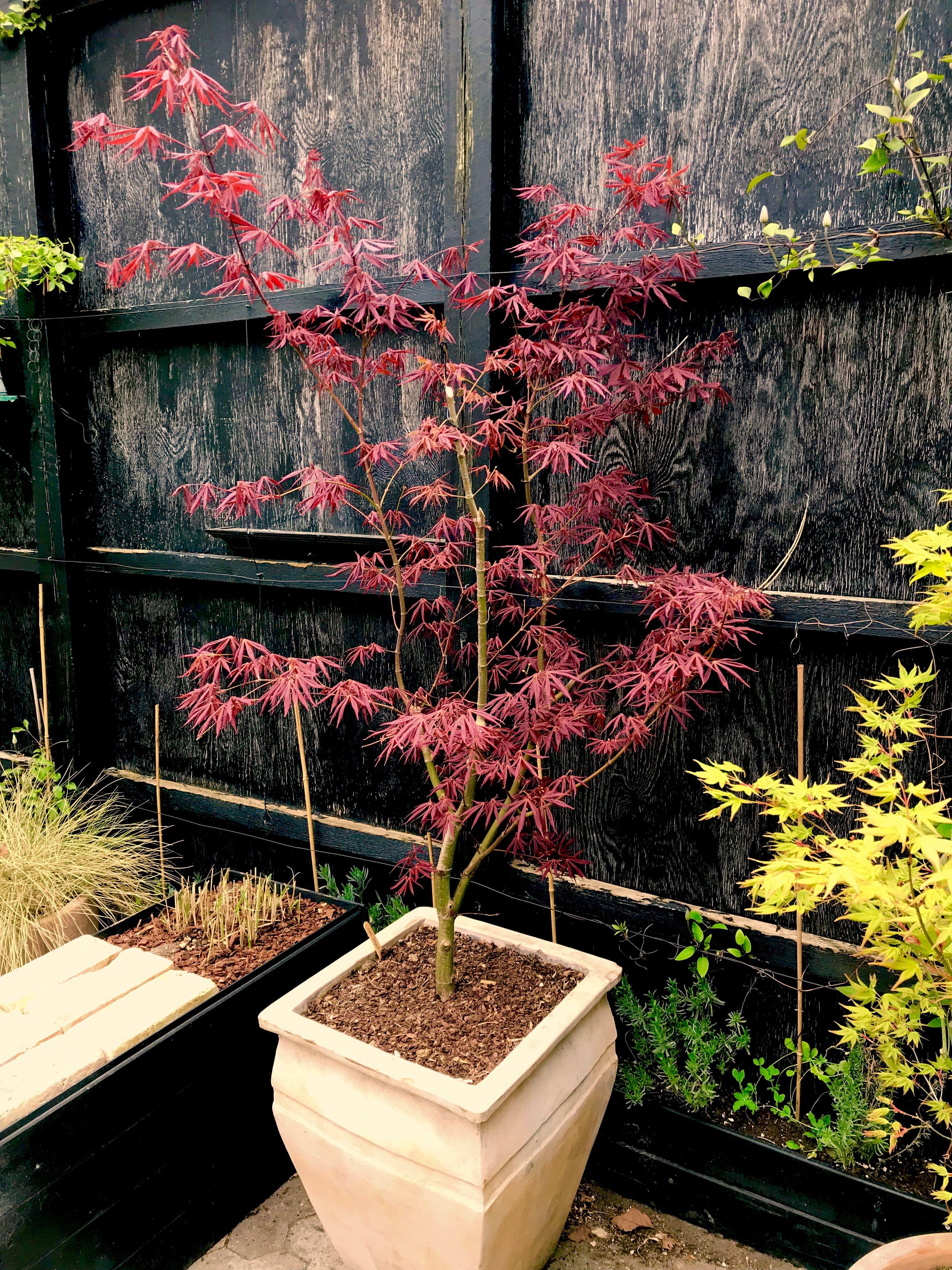 Acer Palmatum Sumi Nagashi Japanese Maple Japanese Maple Garden Red Maple Tree Japanese Maple