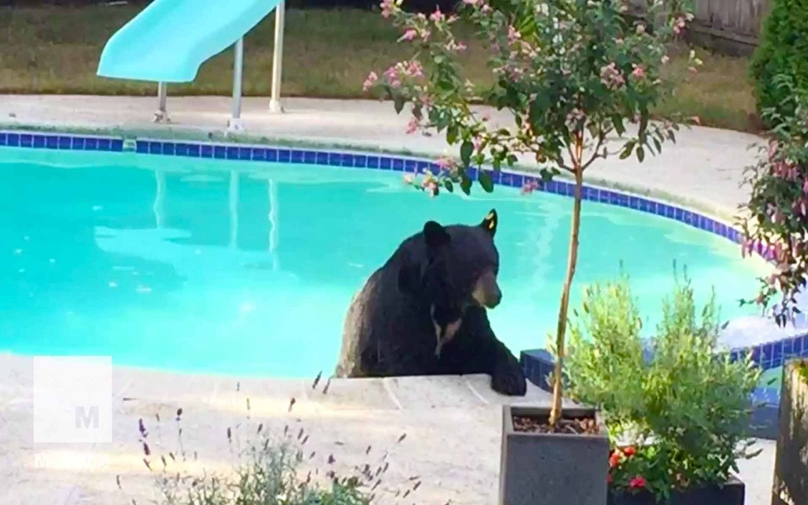 Wild Bear Takes a Break From Being