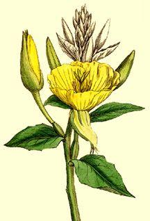 Oenothera biennis | Evening primrose, Botanical drawings ...