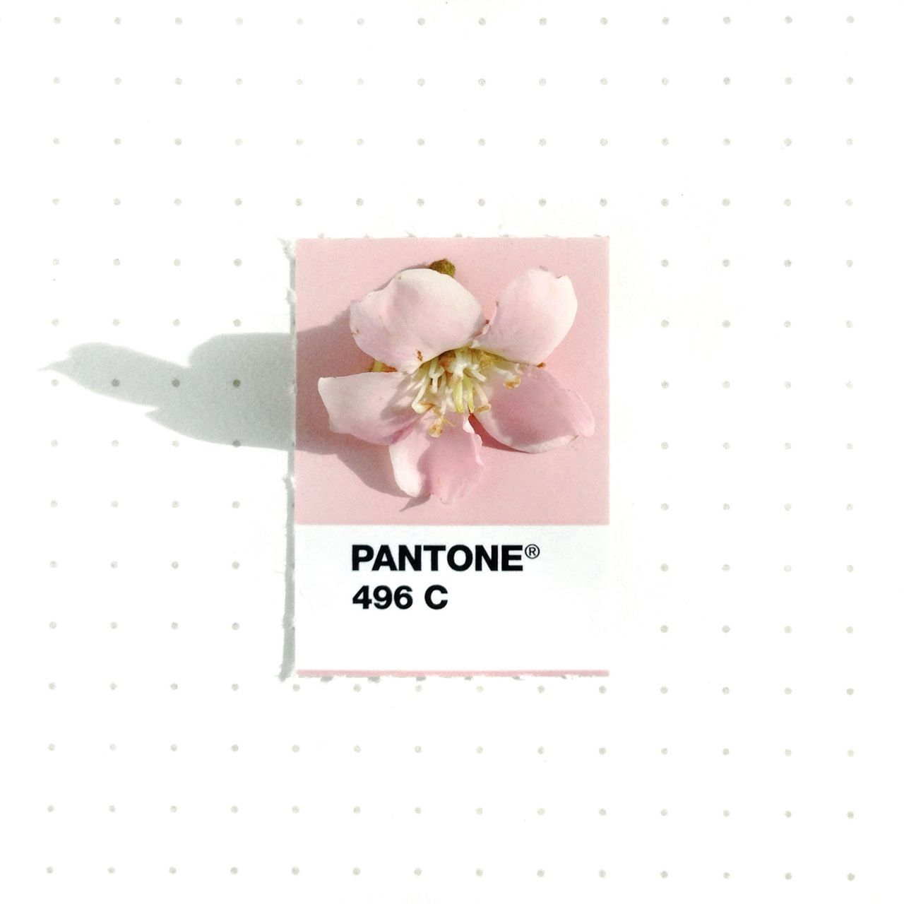 Connu Inka Mathew | Pantone 496 color match. Indian Hawthorn flower. It  JK12