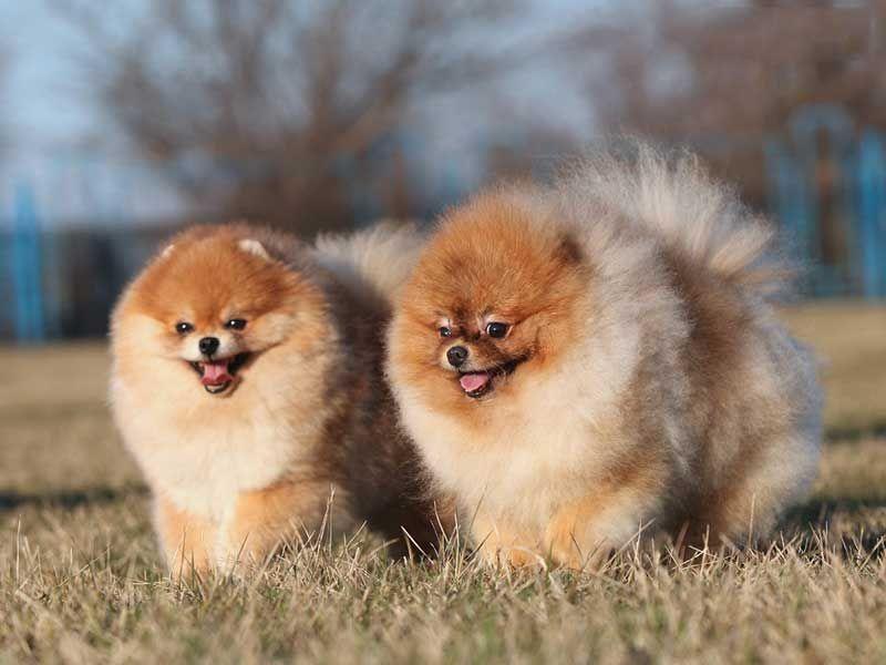 характер собаки шпиц
