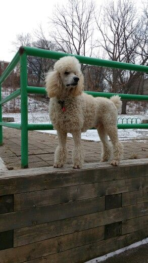 City Of Hamilton Beautiful Dogs Pets Poodle