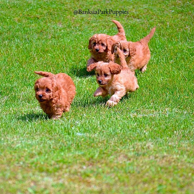 Banksia Park Puppies Oodles Of Cavoodles Oh My Food Animals