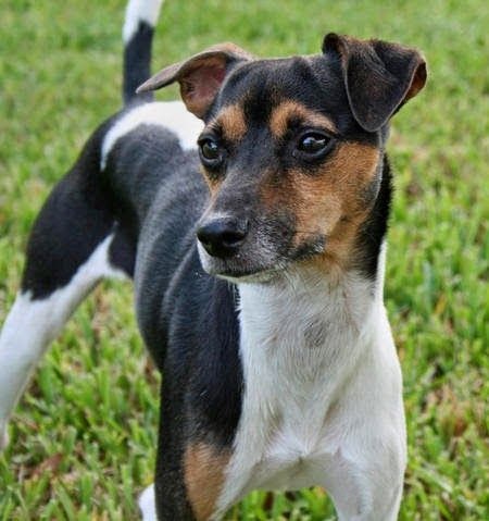 25 Tricolor Dog Breeds Dog Breeds Brazilian Terrier Terrier Breeds