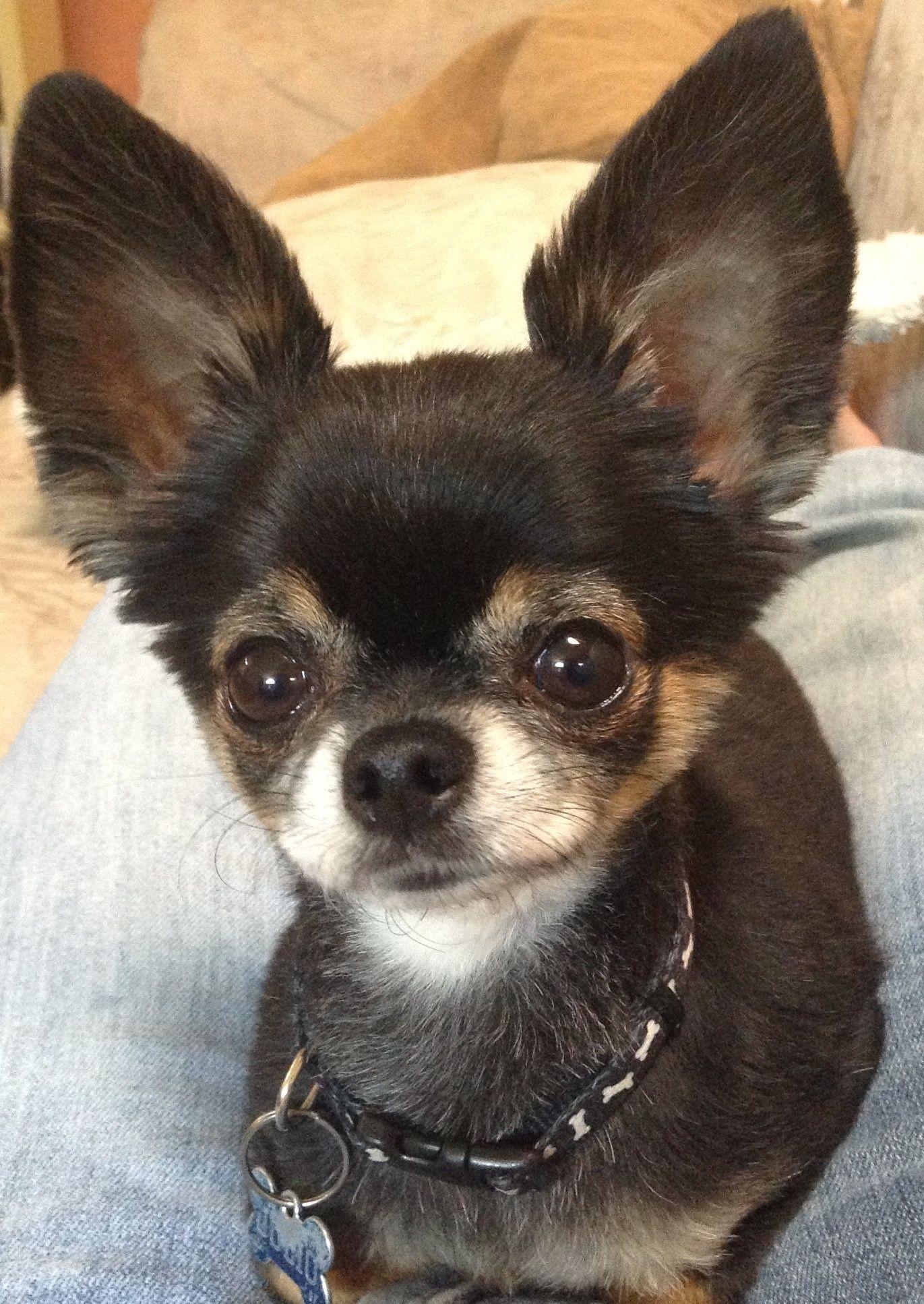 Chihuahua Beauty What Big Ears You Have Chihuahua Love Chihuahua