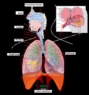 Respiratory tract - Wikipedia, the free encyclopedia