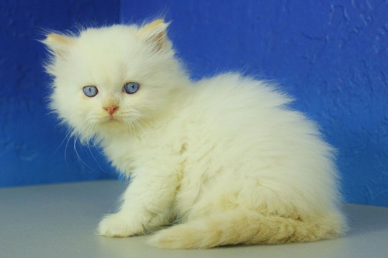 Cream Point Ragamuffin Kitten Ragamuffin Kittens Ragamuffin Cat