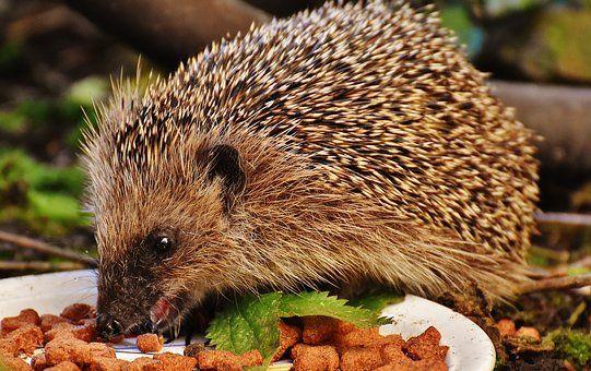 Editor S Choice Photos 2 Igel Im Garten Exotische Haustiere Igel