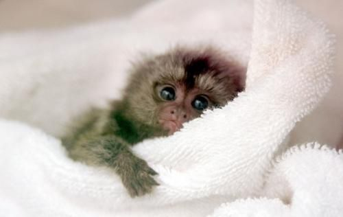 Twin Finger Baby Marmoset Monkeys Ready For Adoption