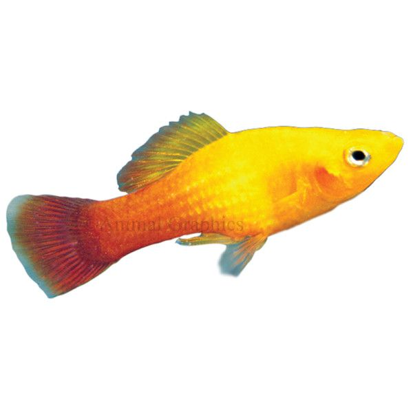 Null Pet Fish Petsmart Fish