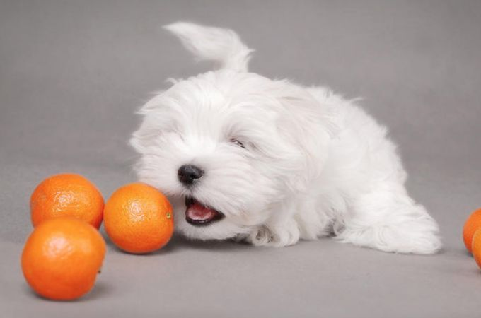 Can Dogs Eat Oranges Are These Fruits Really Good Or Bad Can