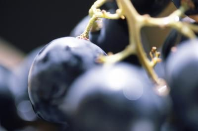 Photo of How to Propagate Concord Grapes