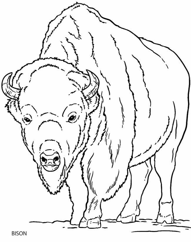 Pin by Susan Carrell on Buffalo and Bison sketches | Pinterest ...