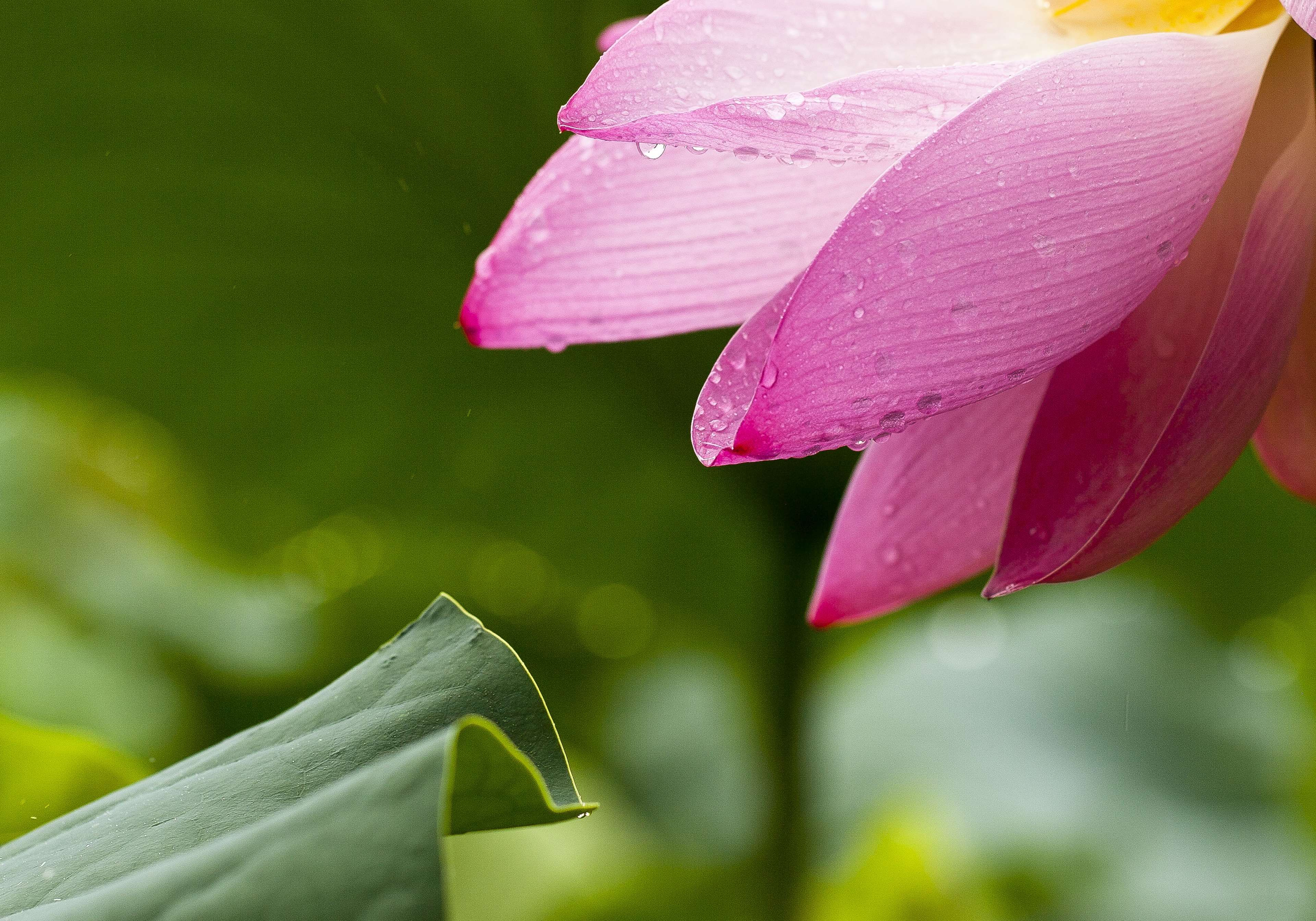 Wikipedia Nelumbo Meaning Prediction Pictures Ltus Www