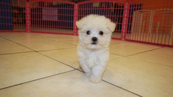 Malti Poo Puppies For Sale Georgia Maltese Toy Poodle Designer