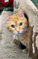 Tommy is an adoptable Domestic Short Hair Cat in Chicago, IL. Tommy is a handsome fellow who came to the shelter when his owner could no longer care for him. Tommy only recently arrived in Charlotte's...
