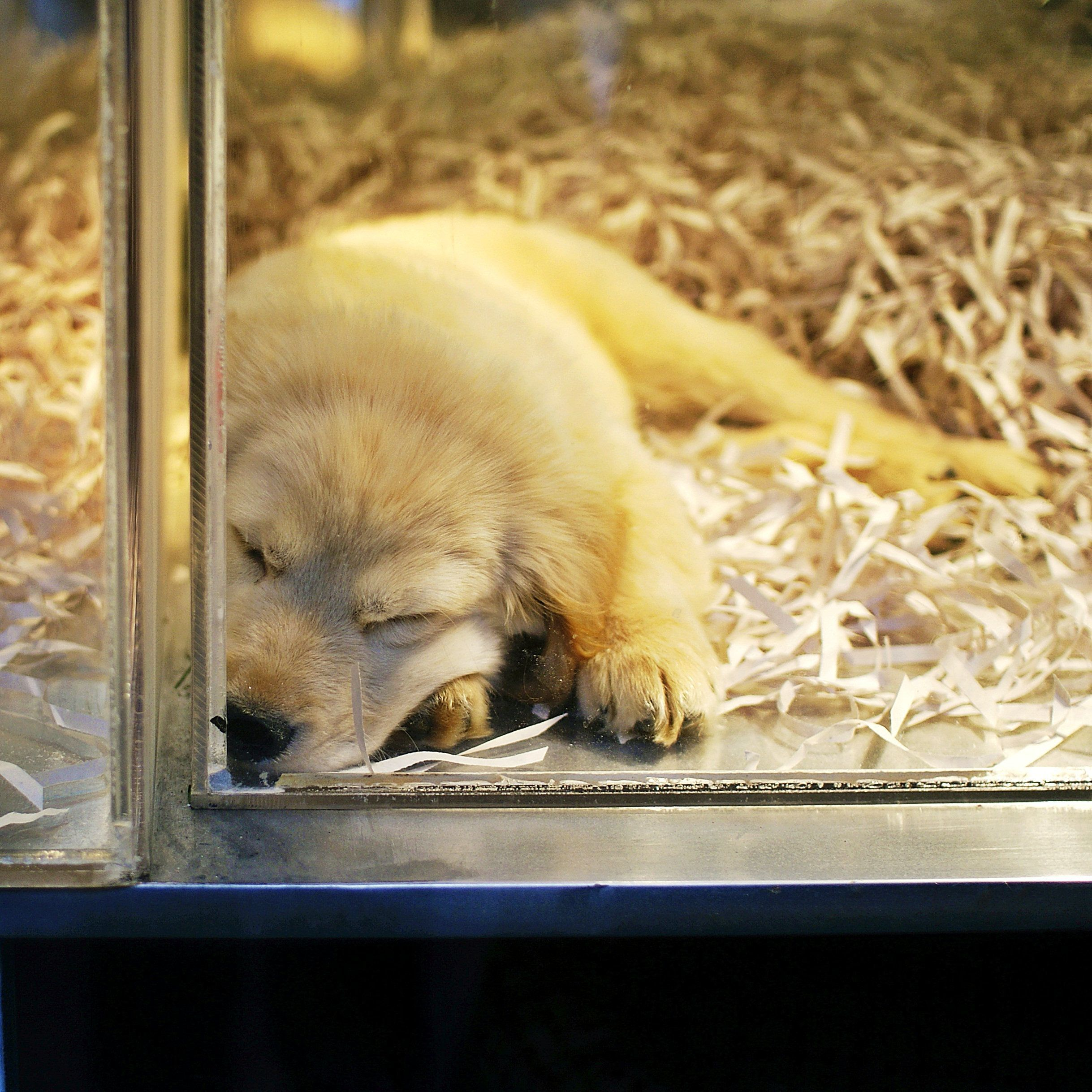 California Close To Banning Pet Shop Sales Of Non Rescue Cats Dogs And Rabbits Pets For Sale Animals Puppy Mills