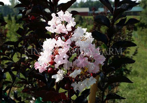 Moonlight Magic E Myrtle 8 12 White Flower Cers Unusual Wine Purple