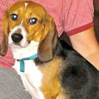 Beagle Freedom Project Rescue Beagles Used In Animal Testing