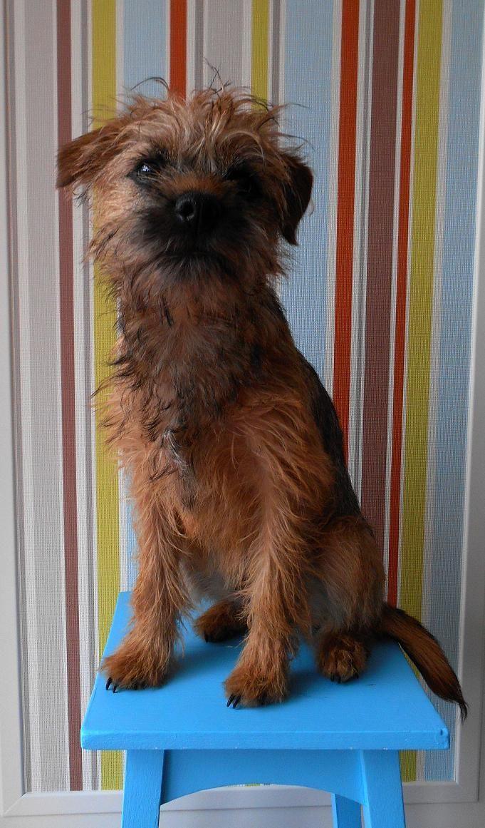 Levi Mylo Ollie C On Border Terrier Brown Dog Patterdale