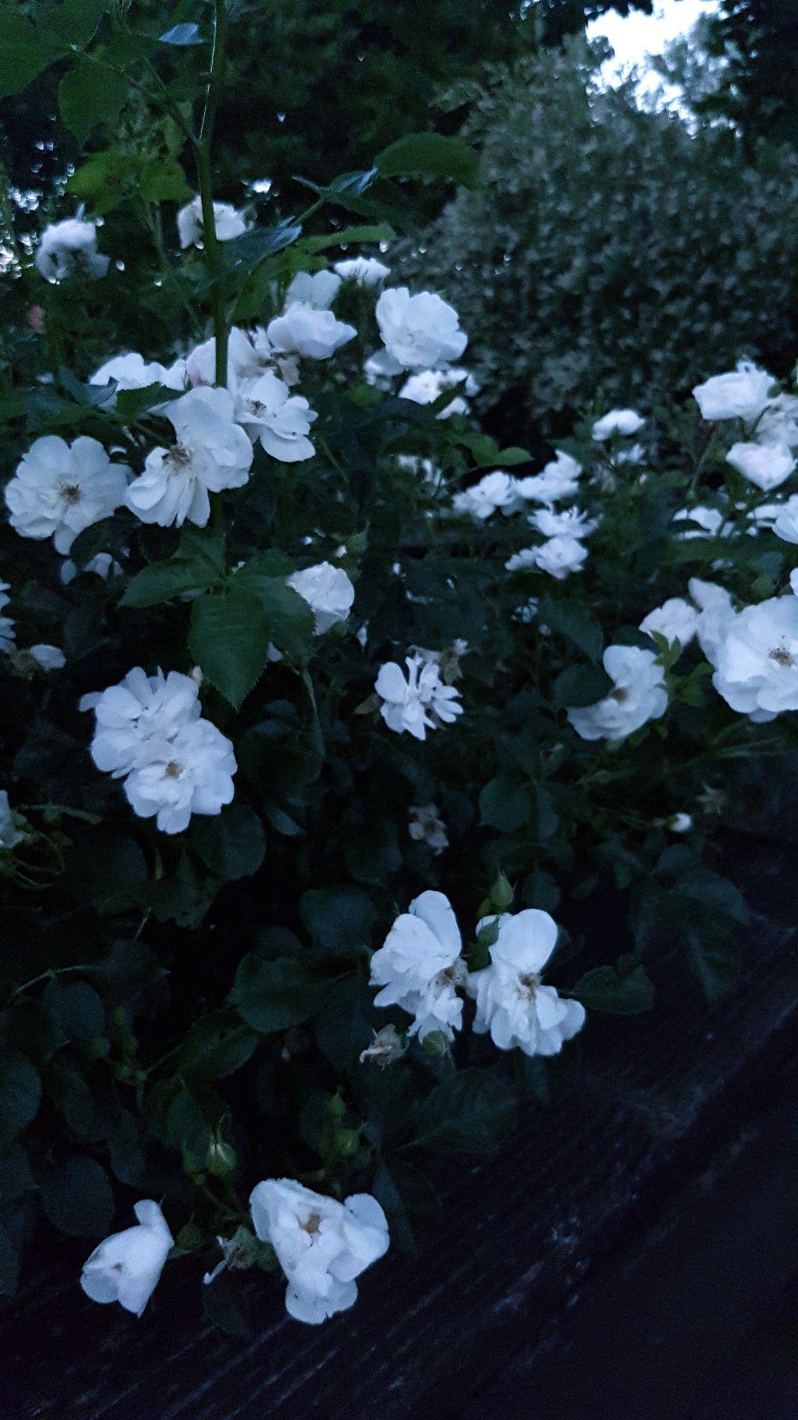 """Pin on White """"Moonlight"""" Gardens"""