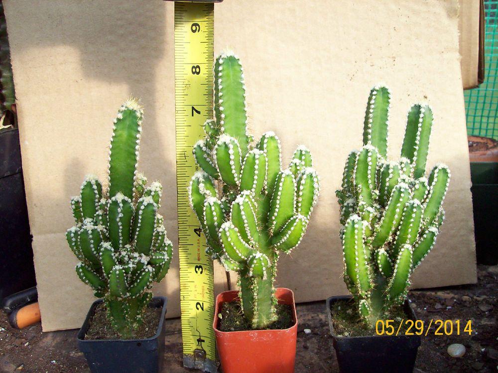 Fairy Castle Cactus Cereus Potted Fairy Castle Cactus Cactus Plants Plant Seedlings