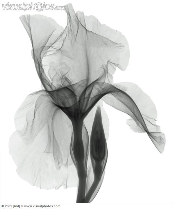 An X Ray Of An Iris Flower Cvetochnoe Iskusstvo Fotografiya Cvetov Tatuirovki S Cvetami