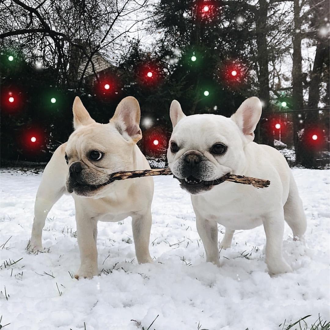 French bulldogs French bulldog, French bulldog puppies