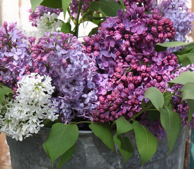 Family Lilacs Pretty Flowers Beautiful Flower Arrangements Lilac Tree