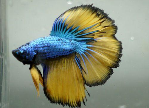 Mustard-blue-dragon-halfmoon-betta-A9