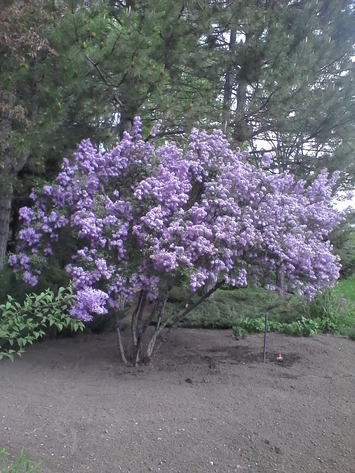 Syringa X Chinesis Chinese Lilac Zone 4 15 High 15 Wide My Photo Available Colors Purple Pink White Garden Inspiration Syringa Spring Flowers