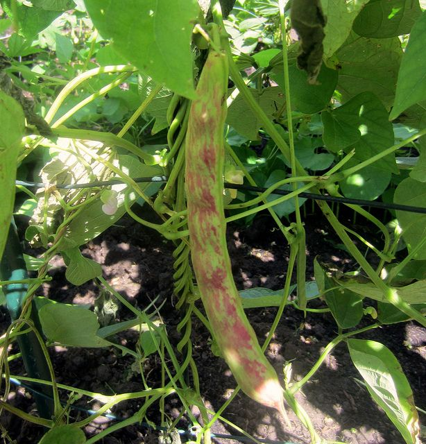 recipe: speckled cranberry pole bean [2]