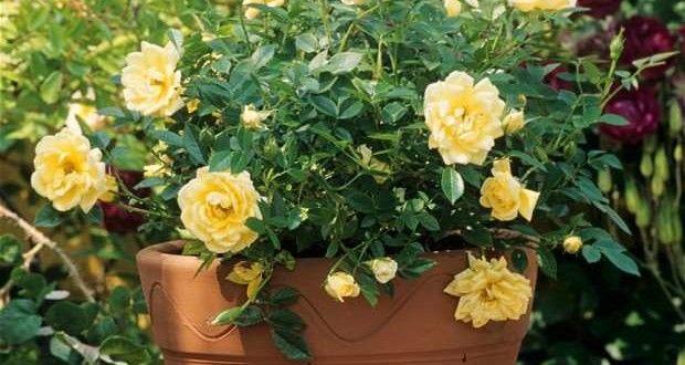 como cultivar y cuidar rosas en macetas o contenedores. cultivar