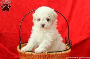 Rover Toy Poodle Puppies For Sale From Leola Pa Toy Poodle