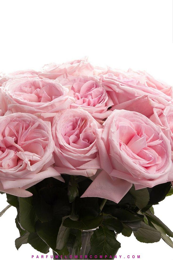 Premium Scented Garden Rose Pink O Hara Scent Garden Garden