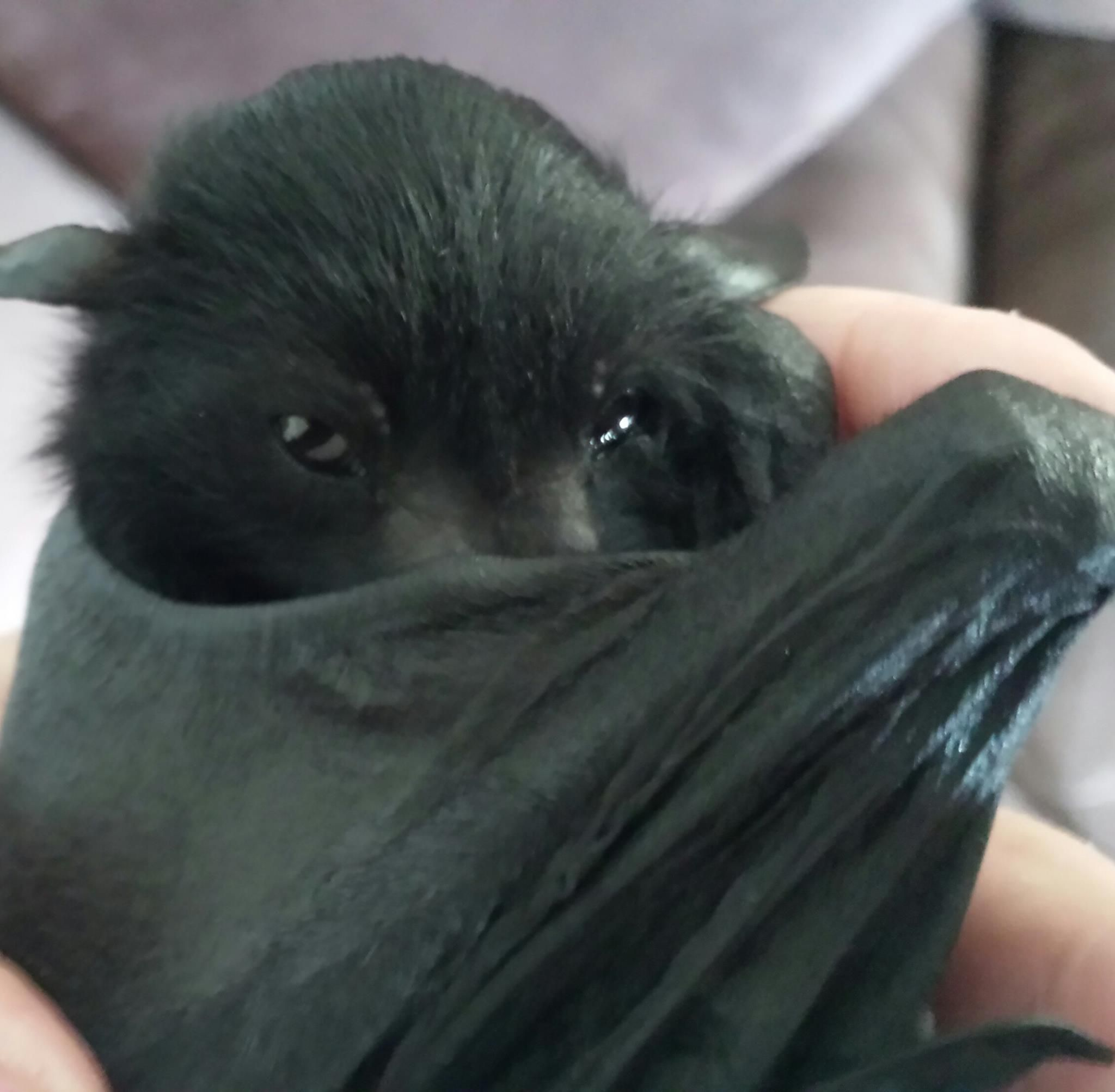 Baby Flying Fox practicing his best 'Dracula' impression...                                                                                                                                                                                 More