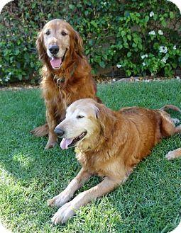 Los Angeles Ca Golden Retriever Meet Sawyer And Selena A Dog