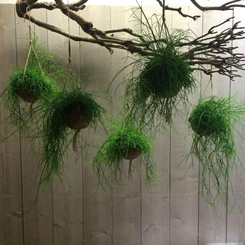image result for rhipsalis cassutha interior vertical. Black Bedroom Furniture Sets. Home Design Ideas