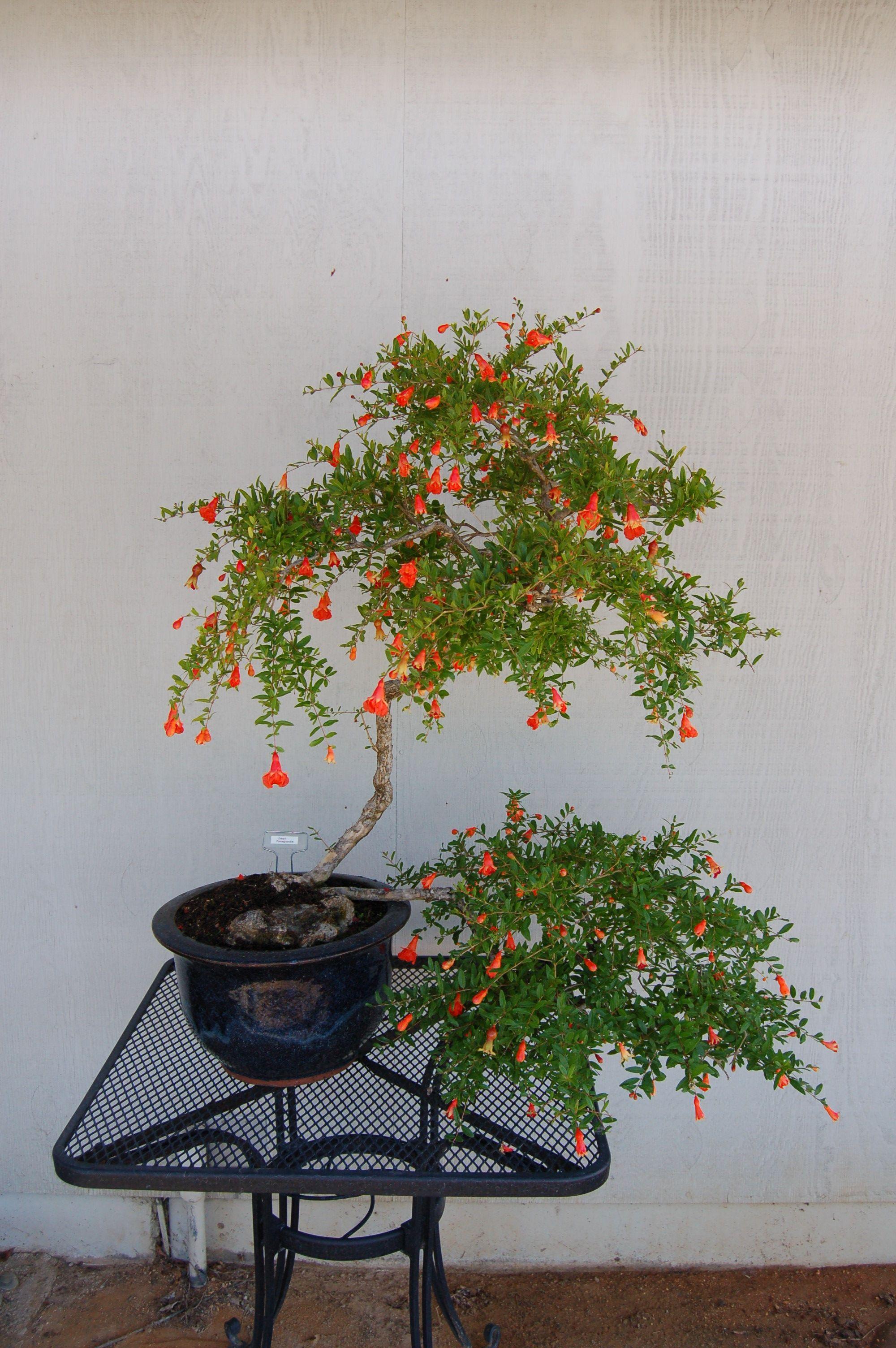 Bonsai Of The Month Dwarf Pomegranate Master Yo Cherry Blossom Bonsai Tree Bonsai Indoor Bonsai Tree