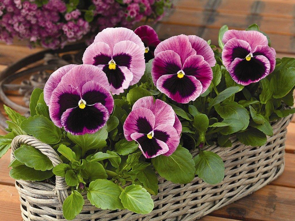 (99) Одноклассники | Анютины глазки, Цветы, Красивые цветы