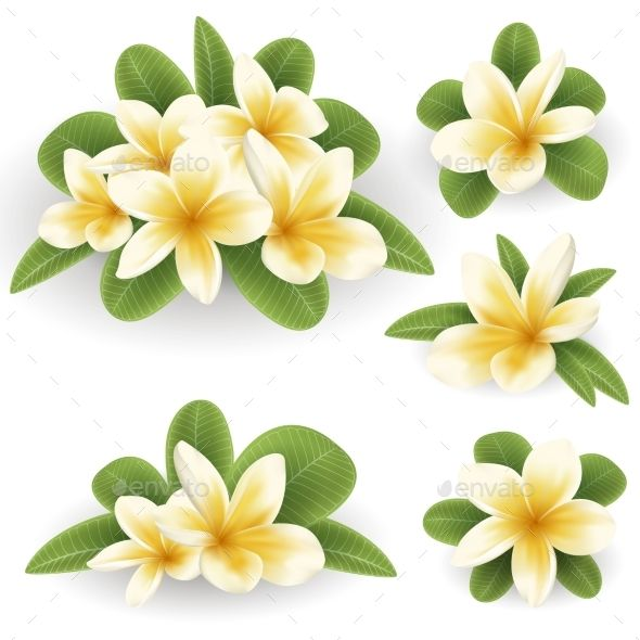 White And Yellow Plumeria Flower Plumeria Flowers Wedding Vector Art Plumeria
