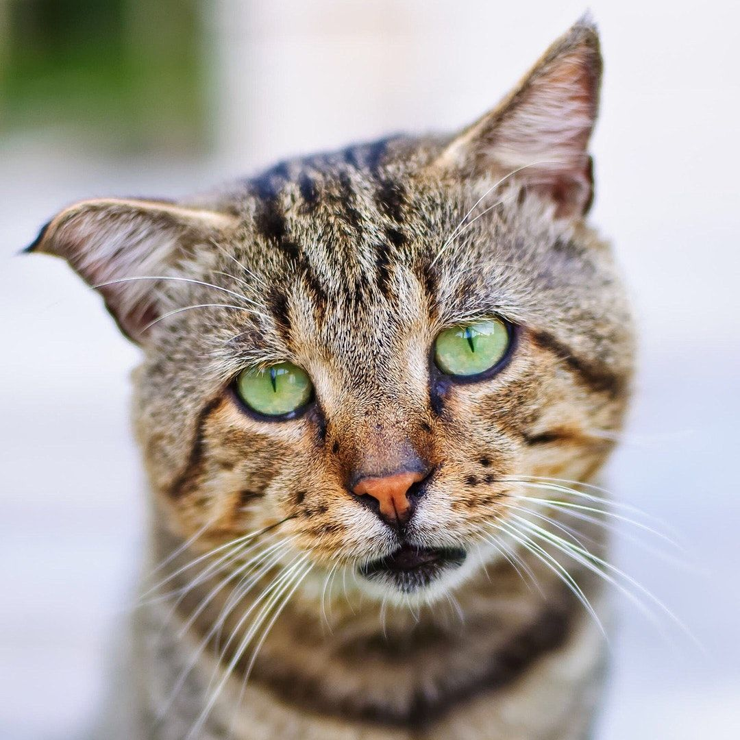 Download This Free Hd Photo Of Cat Feline Eyes And Green By Anna Ogiienko Panafotkas Cat Pics Cat Sneezing Cats