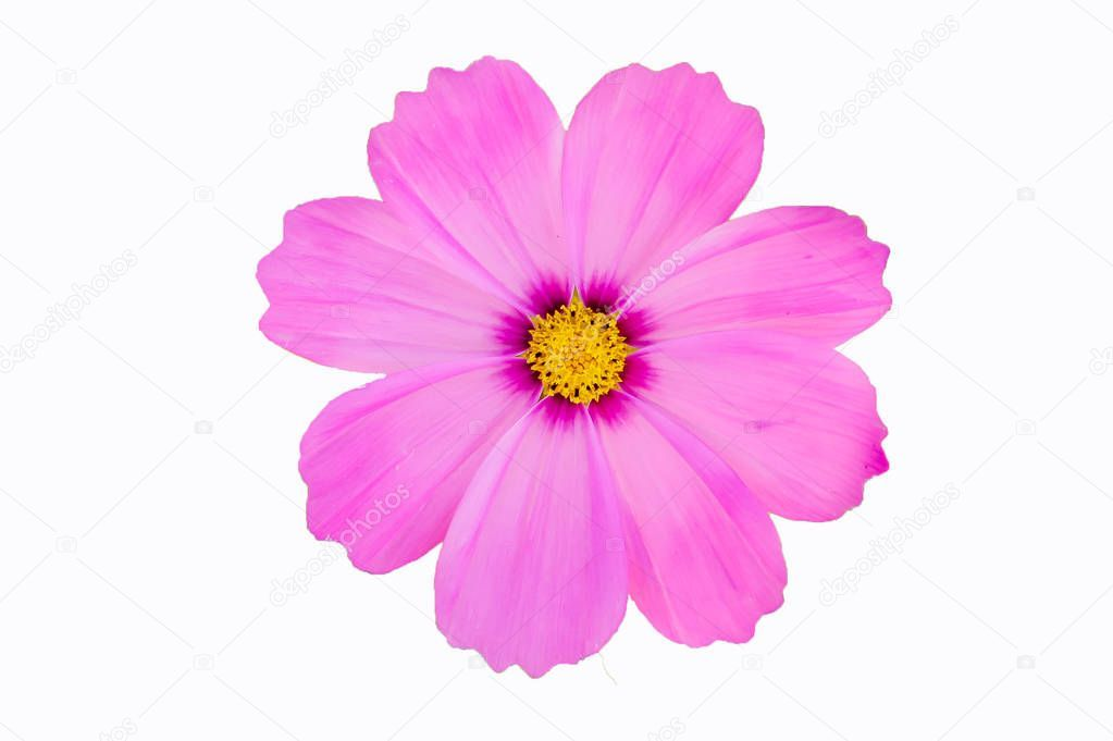 Cosmos Pink Flower Cilpping Path White Background Stock Photo Aff Flower Cilpping Cosmos Pink In 2020 Constellation Wall Art Pink Flowers White Background