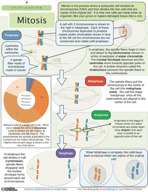 Mitosis Study Guide | Exams | Studium und Wissen
