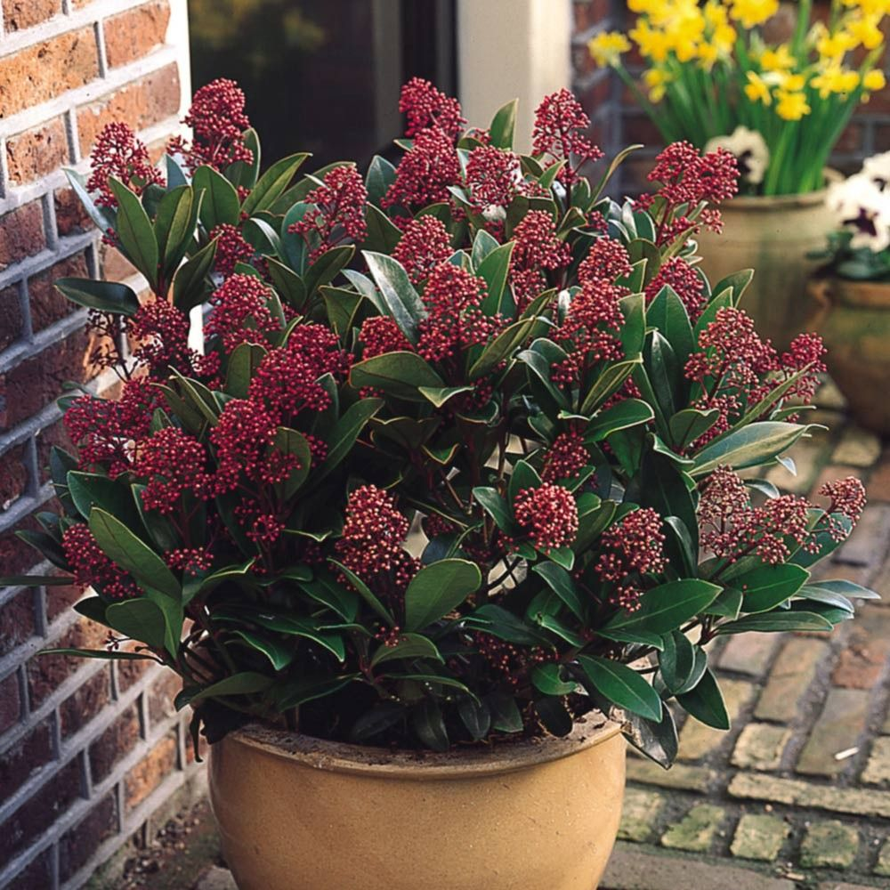 A compact dwarf evergreen shrub, producing an abundance of vibrant red buds in…